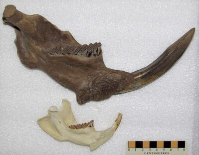 (Randy Mooi / Manitoba Museum photo)</p><p>Giant beaver jaw (Castoroides) compared to a modern beaver (Castor canadensis). Part of the skull of a giant beaver has turned up in southeastern Manitoba.</p>