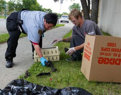 More than 60 dead birds were discovered on King Street between Jarvis and Dufferin avenues Wednesday. Several live birds were picked up by the Humane Society, while the dead ones were taken to the dump by a city animal-disposal contractor. About 20 of the birds were found on top on the Ma Mawi Wi Chi Itata Centre Inc. building at 445 King Street.