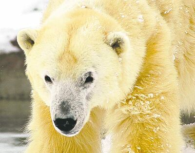 Handout Barle the polar bear endured blistering heat in a Puerto Rican circus  before being rescued and sent to Detroit.