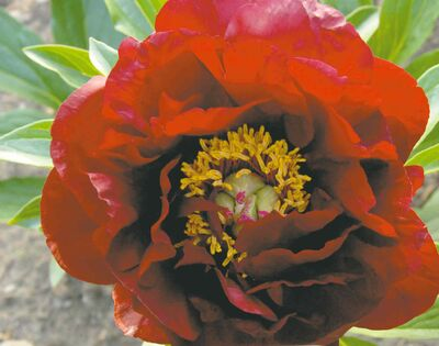 This sought-after herbaceous peony has rich, dark velvety red blooms that are single to almost double. An award-winner at many peony shows, John Harvard features tall, strong stems and bright yellow stamens.