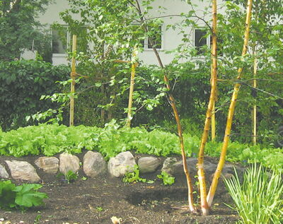 Leaf lettuce can be used as a great temporary filler, or mulch, in a bed that won't be planted for a while.