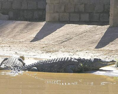 These two crocodiles are back at the Rakwena Crocodile Farm after escaping  last week. As many as 15,000 of the reptiles are on the loose in South Africa.   after the   gates of a damn were opened to alieviate pressure created by rising flood waters. wo of the estimated 7,000 to 15,000 This photo taken Wednesday, Jan. 23, 2013 shows a couple of the recaptured crocodiles back safely on the farm they escaped from, at Pontdrif, South Africa, near the Botswana border. About 7,000 of the creatures escaped when the gates on a dam were opened this week to alleviate pressure created by rising flood waters. About 2,000 had been recaptured Friday, Jan. 25, 2013. Video from the scene shows people hunting down the small-ish crocs at night, tying them up and taking them back to the Rakwena Crocodile Farm, in northern South Africa. The farm, which didn�t respond to an email or calls seeking comment, used to hold 15,000 crocodiles (AP Photo) SOUTH AFRICA OUT