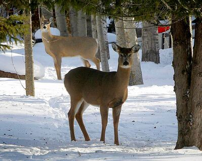 A pair of deer take a look at a snowmobiler in Lakeshore Heights, a cottage community on the East side of Lake Winnipeg just south of Grand Beach, Manitoba.