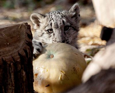 A snow leopard investigates the pumpkin it was given at Assiniboine Park Zoo today.