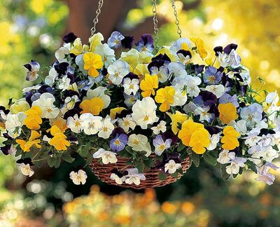 Love the multiple blooms and trailing habit of Wave Petunia? Now there is Cool Wave Pansy, a vigorous grower that trails up to 60 cm. Sow seeds in February for May blooms. Needs darkness for germination.