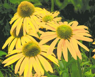 Now Cheesier Coneflower produces long-lasting cheddar-yellow petals that mature to a soft yellow by late summer.