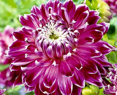Dinnerplate Dahlia Vancouver.  Dinnerplates are always the most popular and Vancouver is a relatively new variety.
