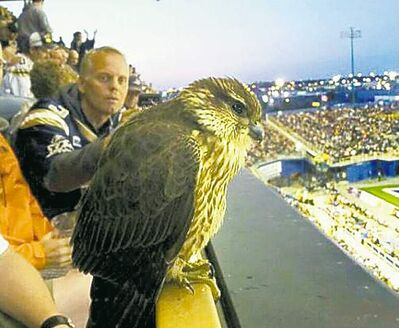 Bomber fans have been lauded for letting a young bird perch in the stands  during last week's game.