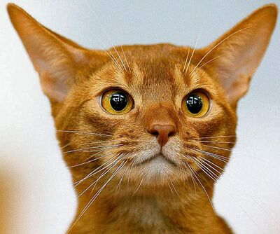 An Abyssinian