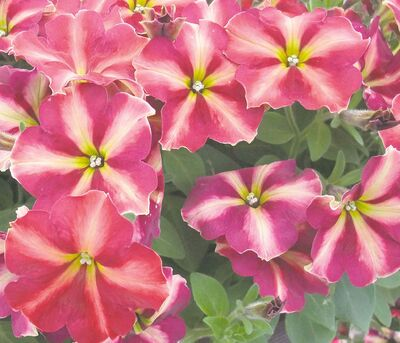 Never underestimate a petunia. Plant breeders continue to introduce newer, more reliable performers that guarantee summer-long blooms right up until the first frost. Cha Ching Cherry Petunia stands up to Prairie summers with rich colour that won't fade away in sun or heat.
