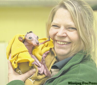 Zookeeper Jacquie Randall cradles four-month-old Rooby, a red kangaroo that was prematurely expelled from its mother's pouch at the Assiniboine Park Zoo. Staff has been feeding the little one every three hours and it seems to be working