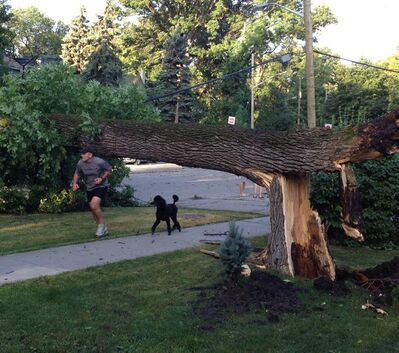 A jogger ducks under a tree, downed in a storm on Sunday night, on Kingston Row Monday morning.