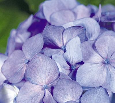 Bloomstruck Hydrangea, the newest entry in the Endless Summer collection, will be released in 2014.