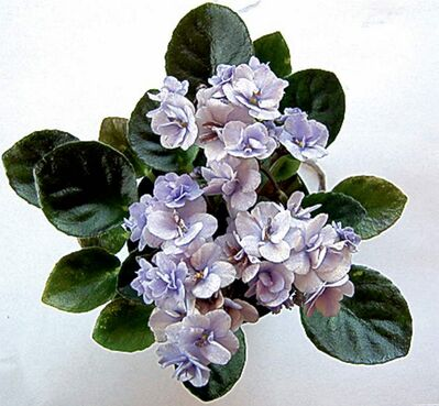 Cool Blue African Violet sports semi-double blooms.