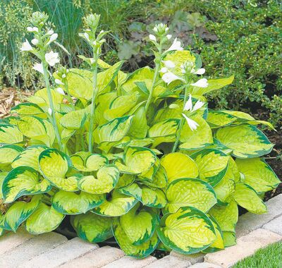 Rainforest Sunrise, 2013 Hosta of the Year, is a miniature hosta that grows to eight inches high and 16 inches wide. Features bright yellow leaves with dark green margins. Plant should receive full morning sun and afternoon shade for the most vibrant colour. Thick, cupped leaves.