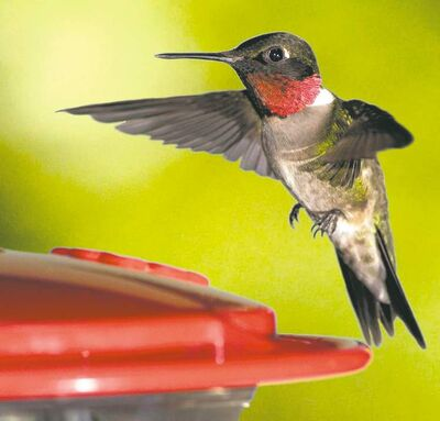 WILD BIRDS UNLIMITED PHOTOHomeowners treat hummingbirds as pets because they often return to the same yards year after year.