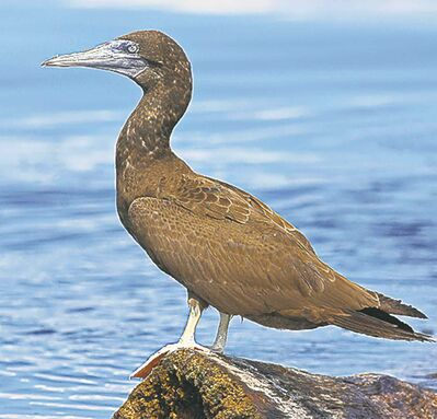 It�s unusual to spot a brown booby anywhere in the United States, except in Florida and Southern California.