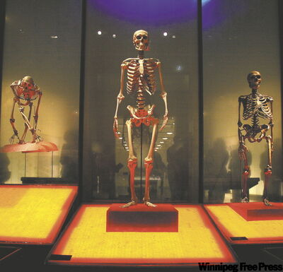 Skeletons of a chimpanzee, left, a modern human, center, and a Neanderthal.