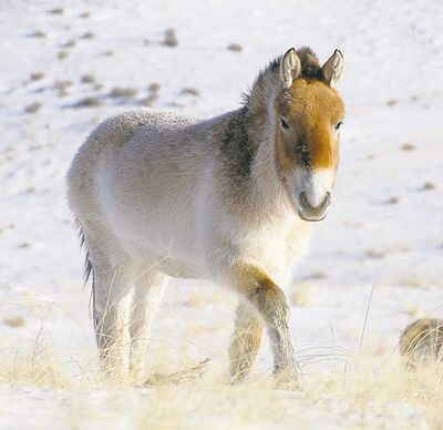 The genetic makeup from a Przewalski horse matched that of a horse that lived 700,000 years ago in Canada's Arctic.