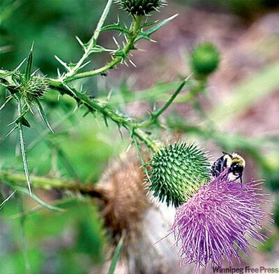 Dean Fosdick / the associated pressThistles in the garden? You may have to reply on home-made remedies or simply dig them out by the roots.