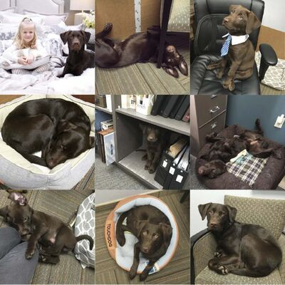 Supplied photos</p><p>Whiskey, a chocolate Lab, is a lovable fixture at Windows of Fashion & Surroundings, a home furnishings and window-coverings store where his owner, Hazel DeVriendt, works.</p>