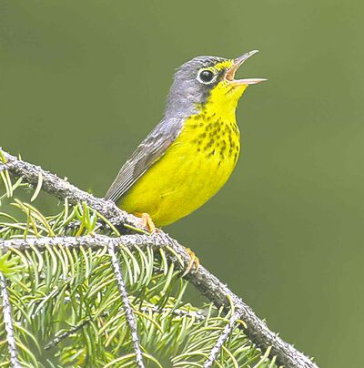 Postmedia archivesThey distinct yellow and black songbirds face threats at all stages of their life cycle, including changes in Canada�s boreal forests.
