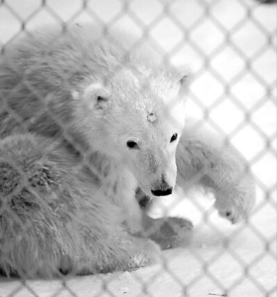 The zoo unveiled two young polar bears on Friday.