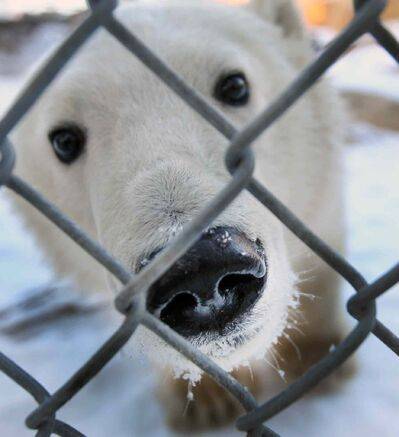 One of two polar bear cubs from Churchill, Manitoba now at the Leatherdale International Polar Bear Conservation Centre at Assiniboine Park Zoo.