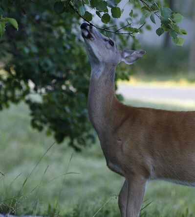 On a quiet, cool morning after the storm deer in the Assiniboine Park forest forage for food along the west entrance to the park.
