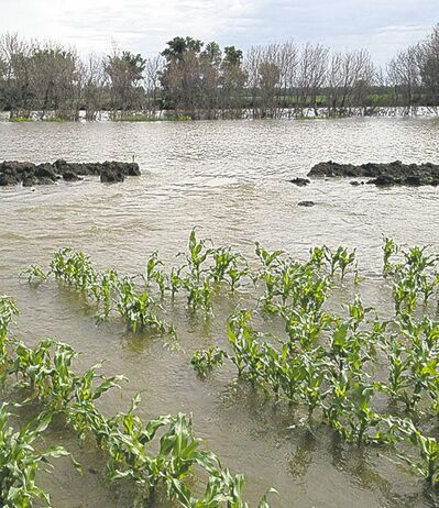 Brandon Sun Rows of corn north of Griswold sit in water.