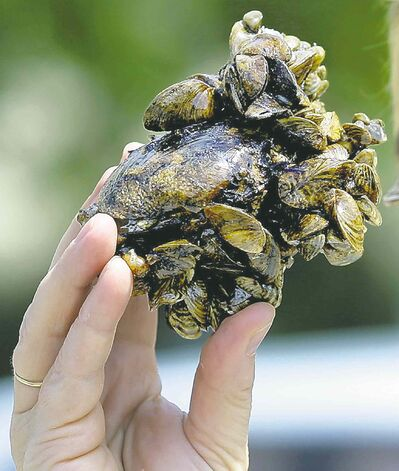 Zebra mussels attached to an indigenous clam