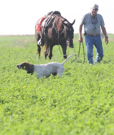 Colvin Davis arrives as his English Pointer Cooper points without a movement to indicate he has located a game bird.