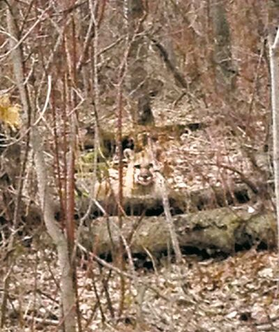This cougar was seen May 13 near a trail 10 kilometres southwest of MacGregor.