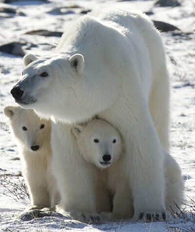 Polar bears at Churchill