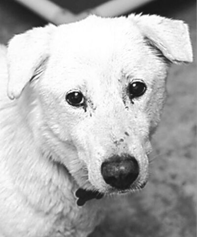 Rose (yellow lab cross) -- became Winter (died 2011 during surgery for dental issues)