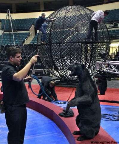 "Marcel Vasseur takes the jaguar for a walk around the floor of the MTS Centre as the ""Sphere of Fear"" is assembled for the daring motorcycle act as part of Circus Mondo last year."