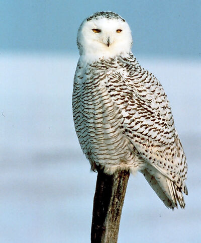 Snowy owls will be accommodated in the Journey to Churchill exhibit at the zoo.