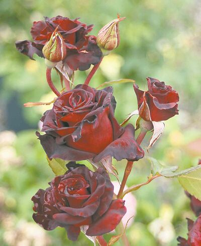 A tender hybrid tea rose, Black Bacarra is a rare mysterious beauty with smoky red, almost black colouration. A beautiful addition to your patio for summer-long blooms.
