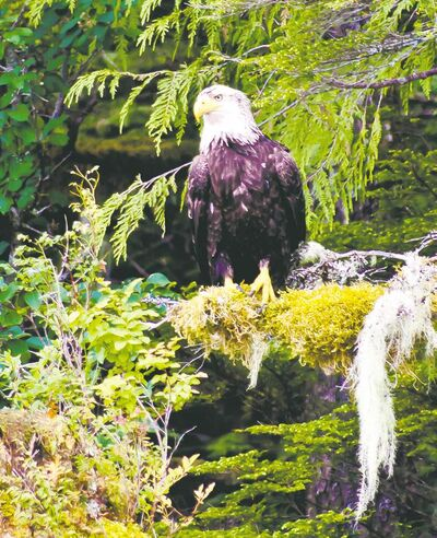 A bald eagle scans the water for prey from its perch high above the shores of the Great Bear Rainforest, the world's largest remaining tract of unspoiled ancient temperate rainforest.