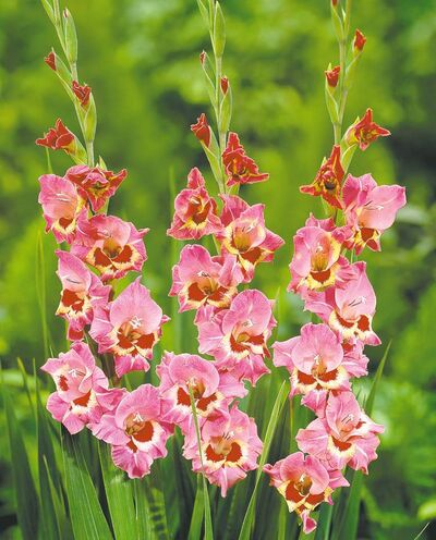 Gladiolus 'Cindy'. Prize-winning glads are usually ones that have been nurtured from one year to the next. Dust the corms with a garden fungicide and store in dry peat moss.
