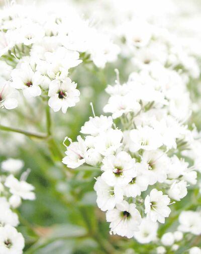 Gypsophila or Baby's Breath floats like a cloud over neighbouring perennials. Its veil of delicate bright white flowers is a standout, inviting closer inspection of partly hidden plants.