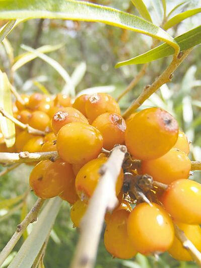 Seabuckthorn was originally brought to Morden in the early 20th century as a landscape plant and later used for shelter-belts. Today, it is grown for its nutritional and medicinal qualities. Vitamin C is present in large quantities.