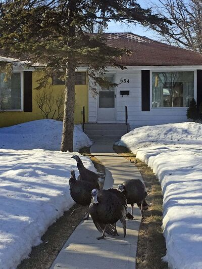 <p>Wild turkeys roam River Heights earlier this week.</p>
