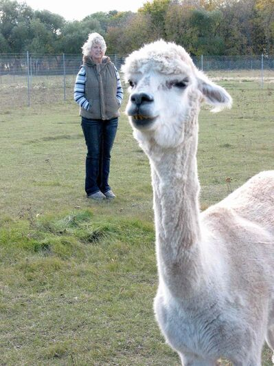 Penny Gogush checks on the alpacas boarding on the property that she and  husband Rick own in Lido Plage.