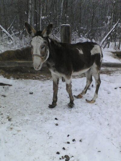 A police photo of a donkey on the farm with painfully overgrown hooves in November 2010.