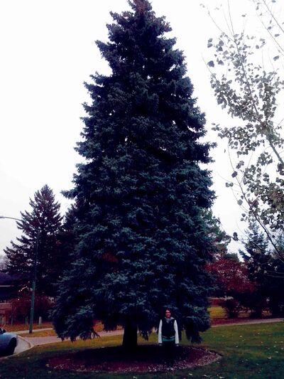 Makyla Sever, 11, stands in front of the tree her family donated to the City of Winnipeg to use as its Christmas tree at City Hall.