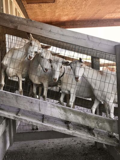 The goats at the Milner Valley Cheese farm produce two to three litres of milk a day.</p>