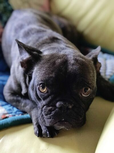 Leia is a French bulldog who has found a new home with columnist Jeff McFarlane and his wife, Jackie, thanks to Jenn's Furry Friends animal rescue.
