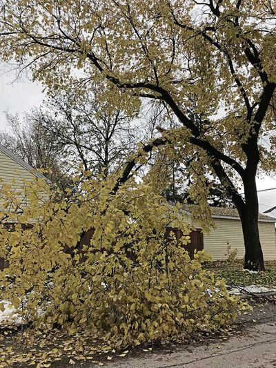 This tree, on Beatrice Street's boulevard, is one of an estimated 30,000 trees on City of Winnipeg property that were damaged. (SHELDON BIRNIE/CANSTAR/THE HERALD)