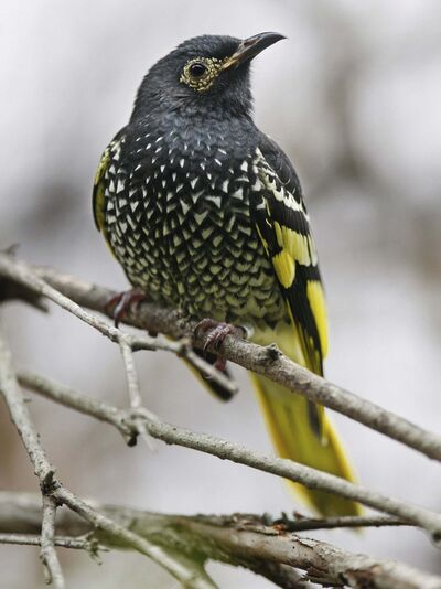 Mark Baker / The Associated Press files</p><p>A regent honeyeater is seen at Sydney's Taronga Zoo. With the population of regent honeyeaters plummeting, Australian officials have turned to captive breeding in the hopes of saving the endangered bird species from extinction.</p>